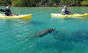 Two kayakers observing a manatee in Jupiter, Flordia