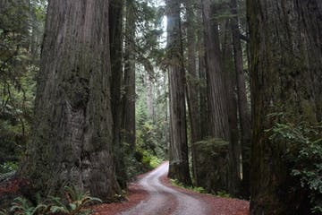 View of winding dirt road going through Redwood forest