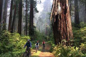 Three bikers riding along grassy trail in the Redwoods