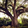 Oak with Spanish Moss at Houmas House
