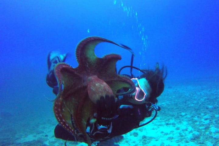 scuba diver holding a giant octopus off the coast of Honolulu Hawaii with Pure Aloha Adventures
