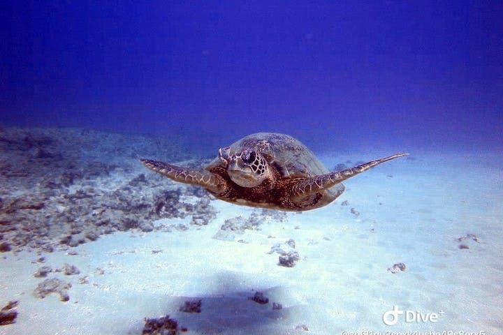 scuba diving with a sea turtle in Honolulu Hawaii
