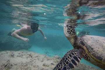 man snorkeling with a sea turtle above a reef at Hanauma Bay with Pure Aloha Adventures