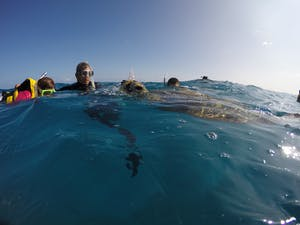 sea turtle surfacing to breathe while snorkelers watch off the coast of Waikiki with Pure Aloha Adventures