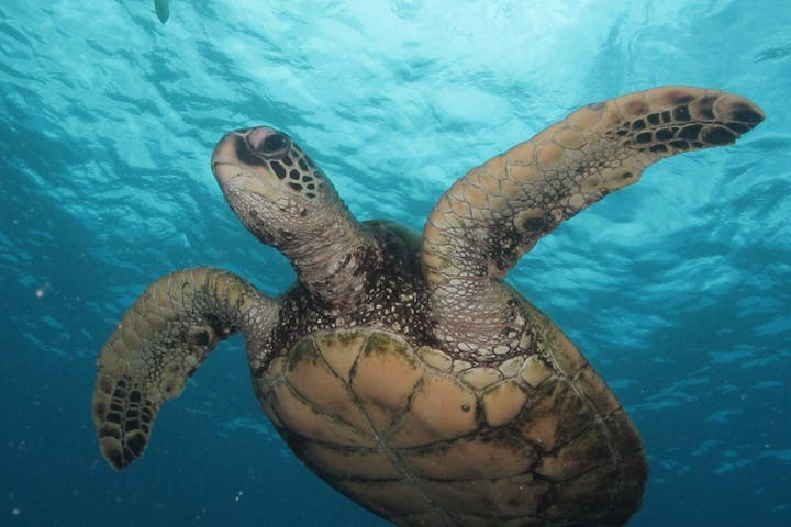 Sea turtle swimming underwater at turtle canyon on snorkel tour at Pure Aloha Adventures in Honolulu, Hawaii