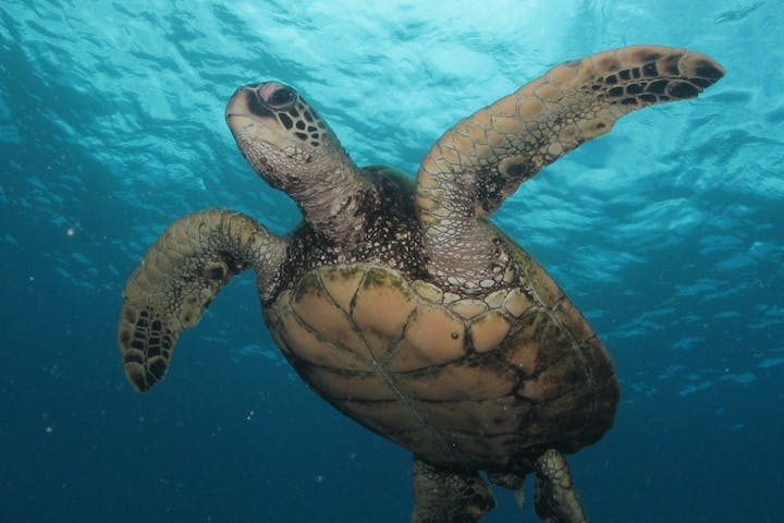 Sea turtle swimming underwater on tour at Pure Aloha Adventures in Hawaii