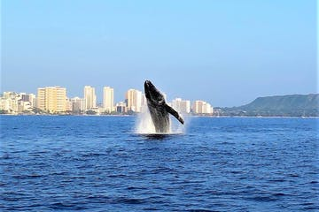 Whale breaching off the coast of Waikiki during a whale watching tour at Pure Aloha Adventures in Honolulu, Hawaii