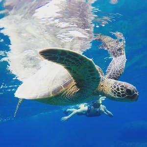 people snorkeling with turtles off the coast of Waikiki with pure aloha adventures