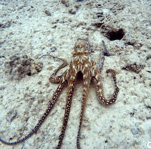 white and brown octopus on a reef