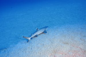 white tip reef shark laying in the sand on the ocean floor