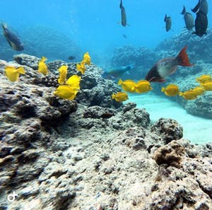 colorful reef fish swimming on coral reef in Hawaii