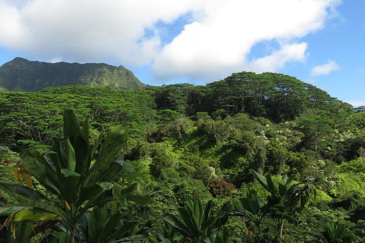 The tree canopy with tons of green and mountains in the background