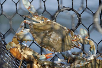Crab caught with net