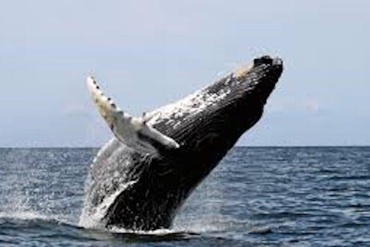 Whale falling back in water