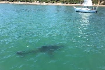 Great White Shark Watching