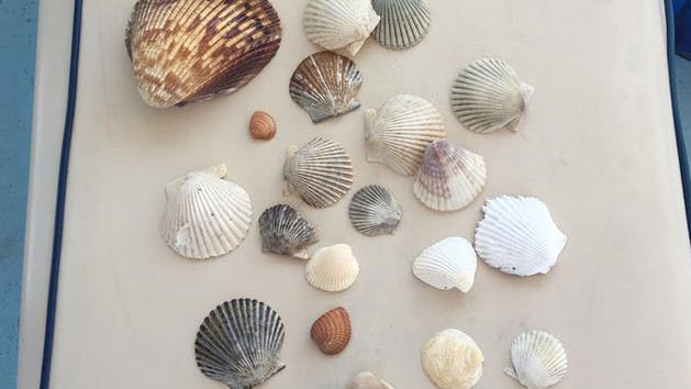 Seashells collected near Gulf Shores, Alabama