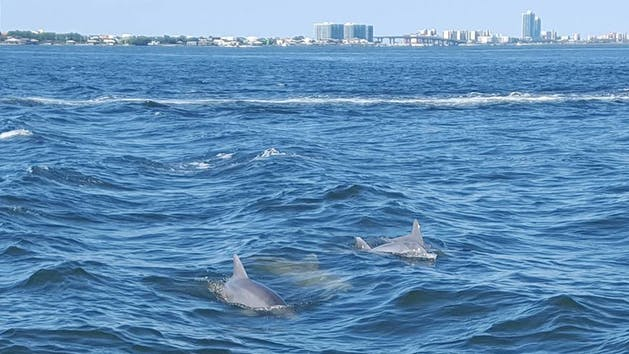 Dolphins swimming near Orange Beach, Alabama