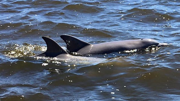 Dolphins in Back Bay, Alabama