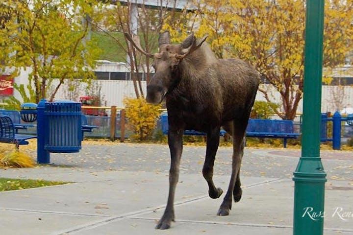 Moose in city