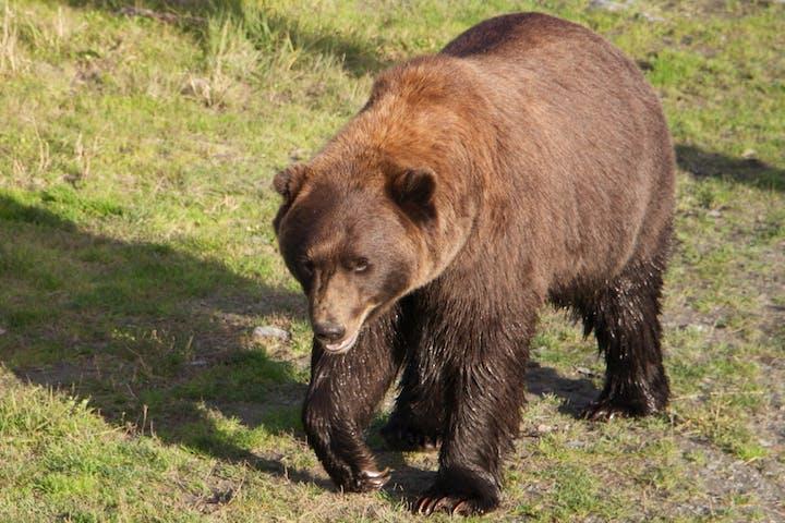 Brown bear walking