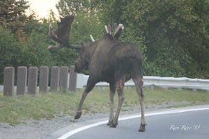 Large Moose Downtown Anchorage