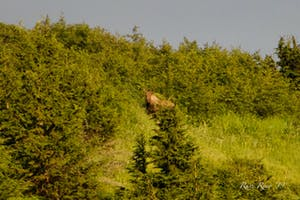 Moose sited in a clearing on the Hillside