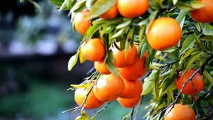 oranges hanging from a branch