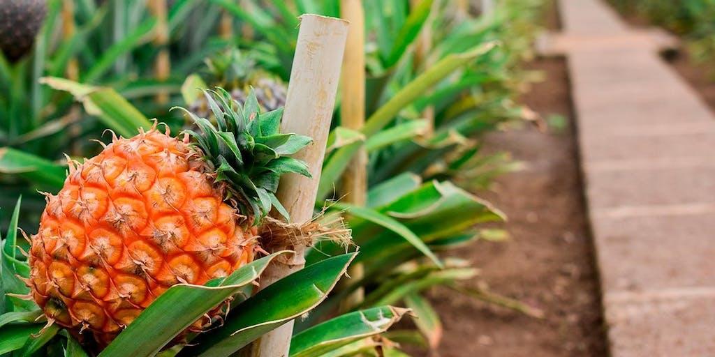 ananás estufa