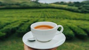 Portuguese tea, Azores, Portugal