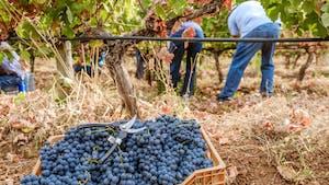 Portuguese wine regions - vindimas harvesting