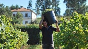 Portuguese wine regions - harvesting vindimas
