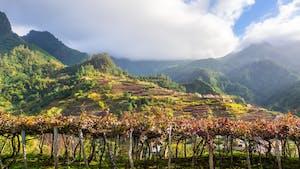Madeira wines - harvesting Vindima