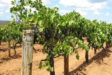 A grape farm in hunter valley