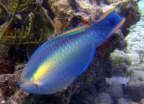 coral world parrotfish