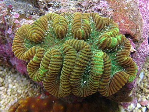 coral world rosecoral