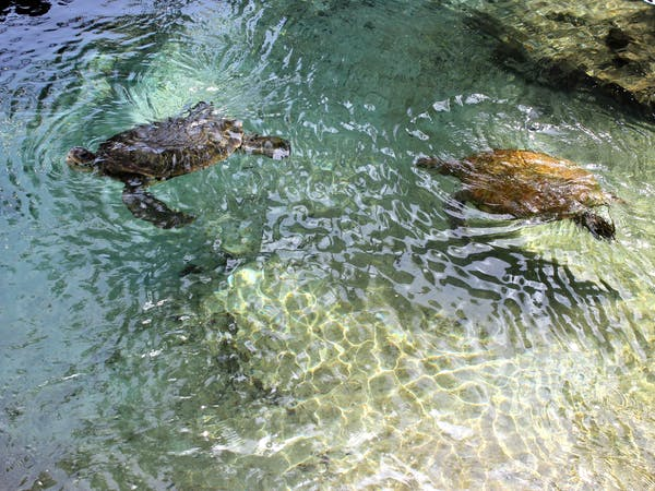 Sea turtles swimming in a pool at Coral World Ocean Park in St. Thomas