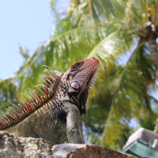 A lizard perched on a rock at Coral World Ocean Park