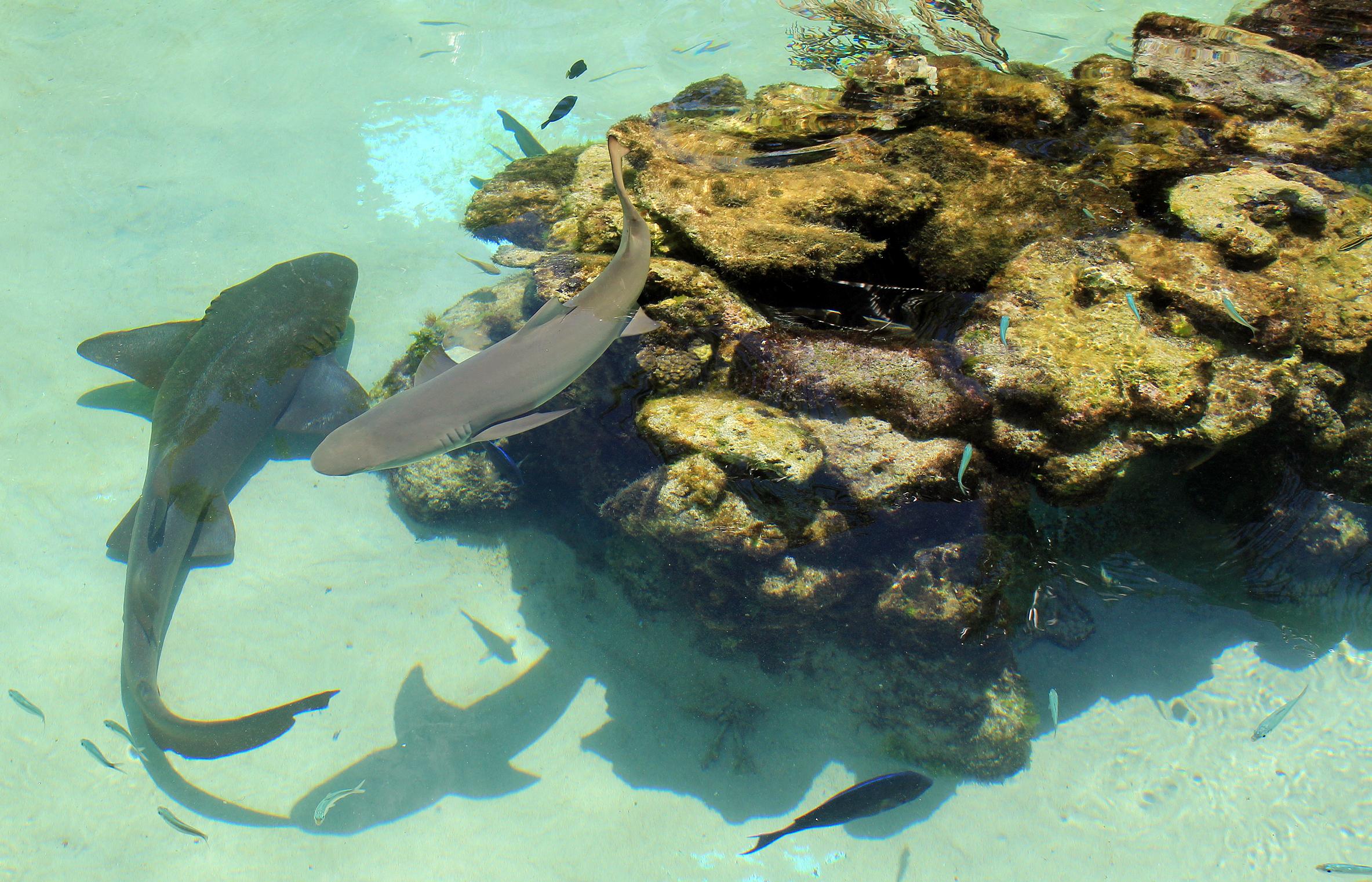 Coral World Shark Shallows (3)