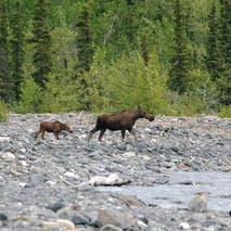 Moose in the Alaskan backcountry