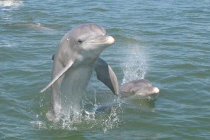 two bottlenose dolphins breaching
