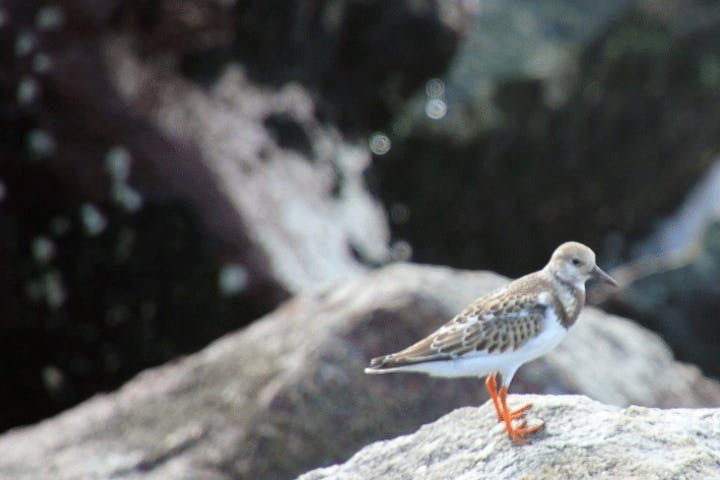 A ruddy turnstone perched on a rock in Myrtle Beach, SC