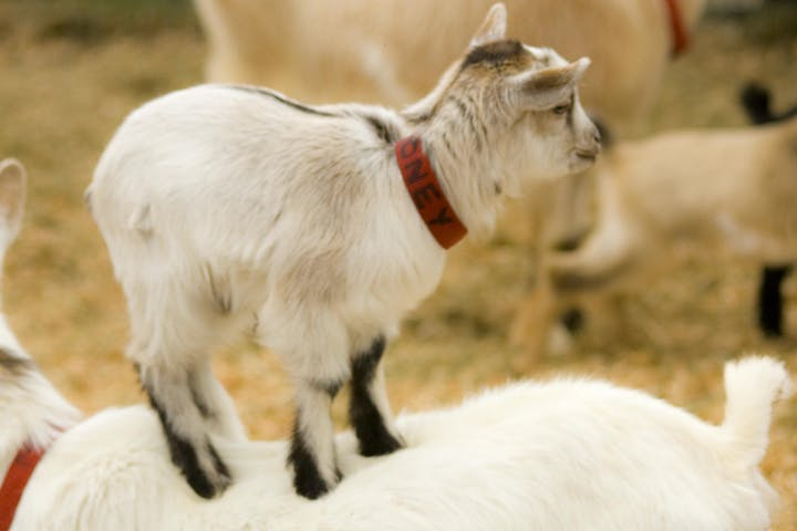 Goat Yoga Class in Vail, CO (GOGA) | Vail Stables