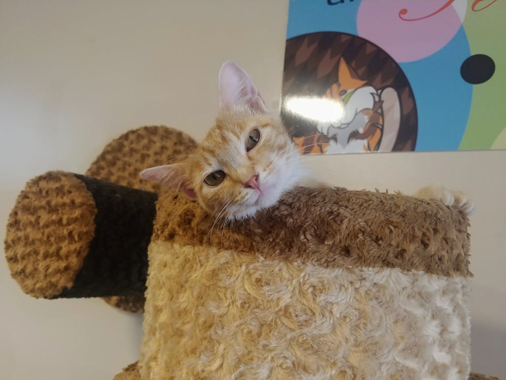 Meet Honey at The Cat Cafe