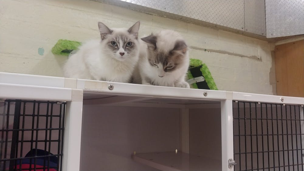 Meet Flower Petal and Dandy Lion at The Cat Cafe