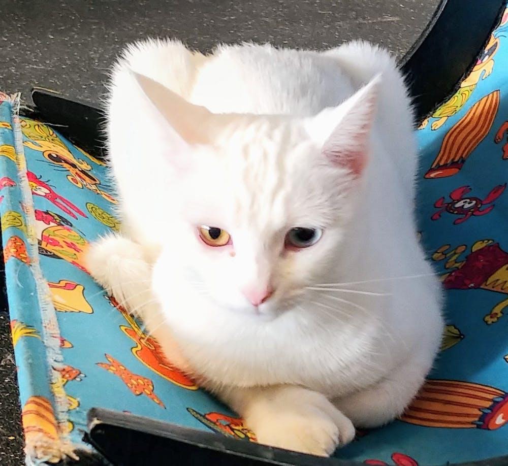 Meet Iris at The Cat Cafe