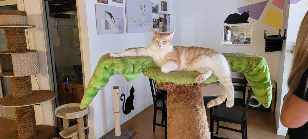 Meet Flynn at The Cat Cafe