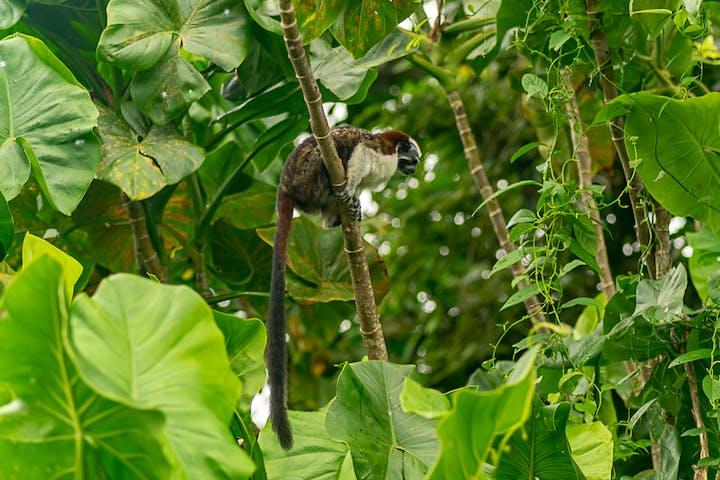 A monkey climbing a tree in the Panama jungle