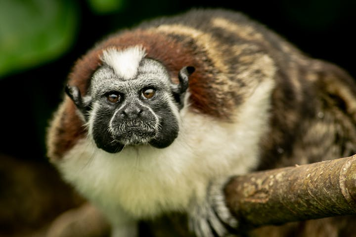 A monkey poses for a photograph on the branch of a tree in the jungle of Panama