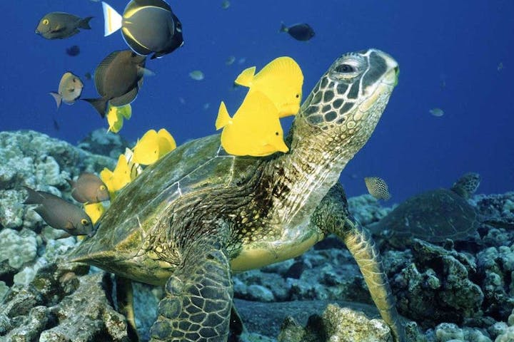 turtle with fish swimming in coral reef