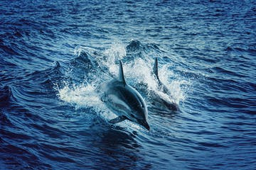 2 Dolphins surfacing